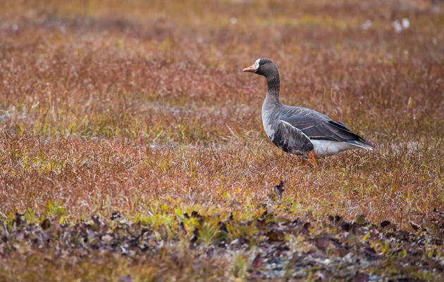Secretarial Order on the Arctic: Bad for Birds, Bad for Balance