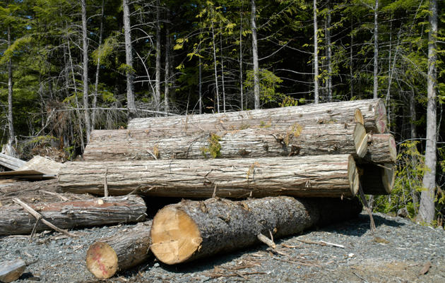 Court Rules to Halt Large Timber Sale in the Tongass