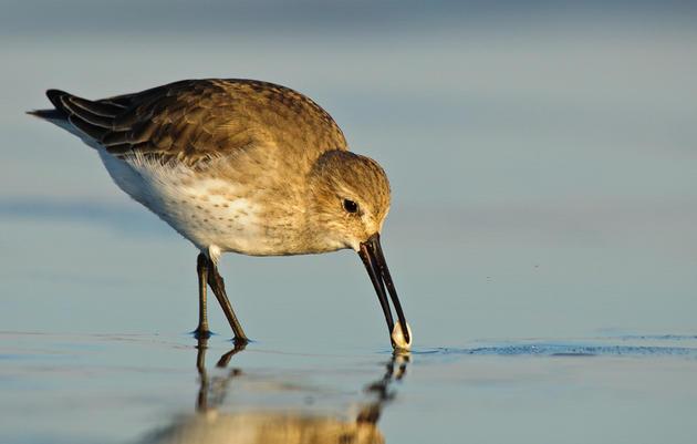 Birds who migrate to Alaska.