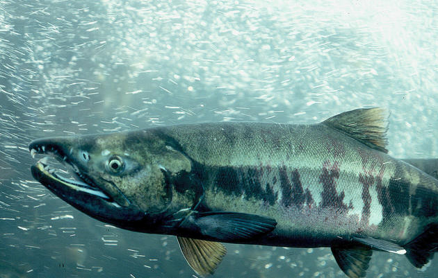 Fish in the Heart of the Arctic