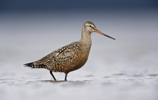 Connect with Alaska Birders