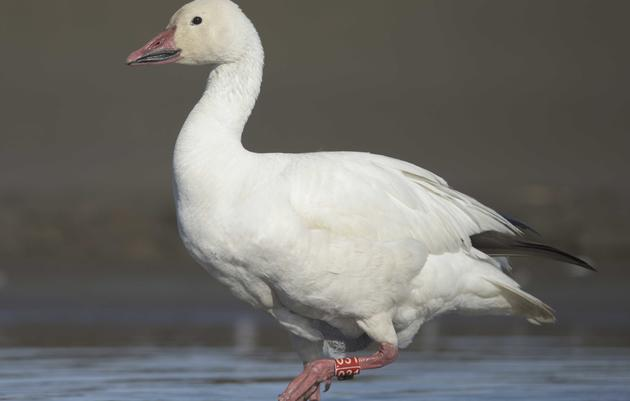 Migratory Birds in the Heart of the Arctic