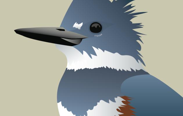 Audubon Alaska's 2019 Bird of the Year!