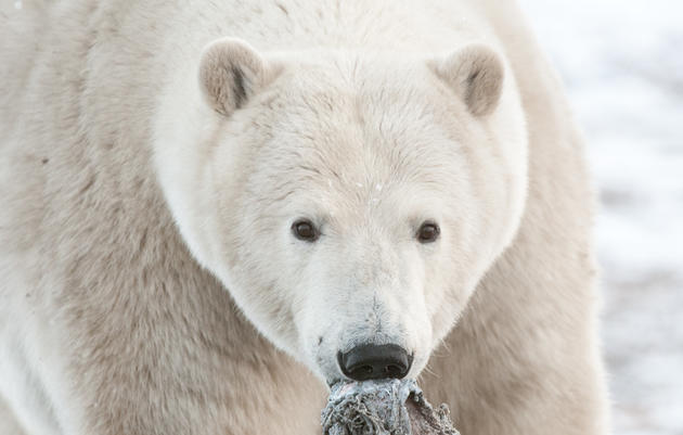 Mammals in the Heart of the Arctic