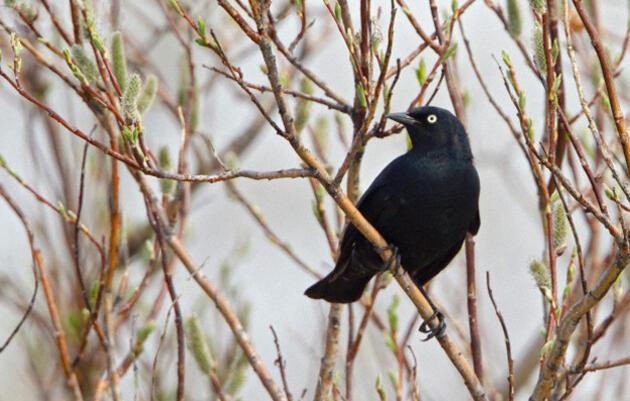 Rusty Blackbird Spring Migration Blitz