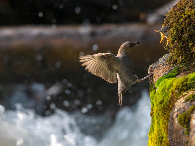 Meet the Dipper, North America's Only Aquatic Songbird