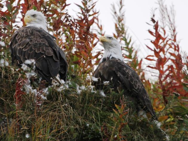 A Win for Clean Water, Salmon, and our Nation's Largest Congregation of Bald Eagles