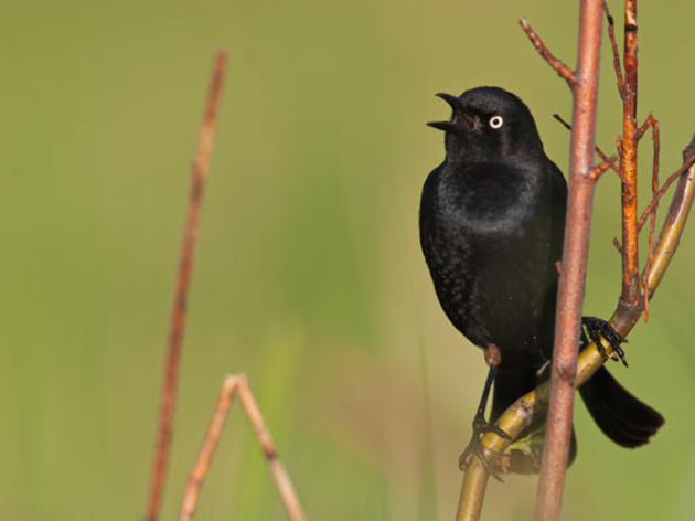 Baffling Blackbirds, Whirling Shorebirds, and Elusive Chickadees