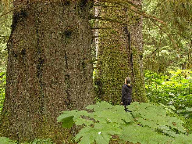 Sneaky Budget Riders Imperil Tongass Trees