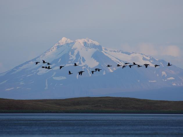 Izembek Land Transfer Would Jeopardize Globally Important Bird Habitat