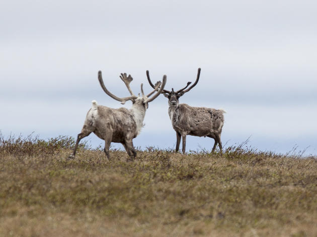 Taking a Closer Look at the Teshekpuk Caribou Herd: Part Two