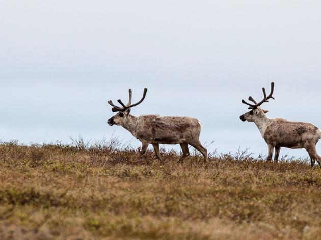 Taking a Closer Look at the Teshekpuk Caribou Herd: Part One