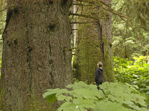Tongass Management Plan Amendment Moves too Slowly in Ending Old-Growth Logging Says Audubon Alaska