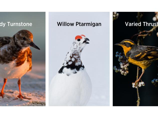 2021 Audubon Alaska Bird of the Year