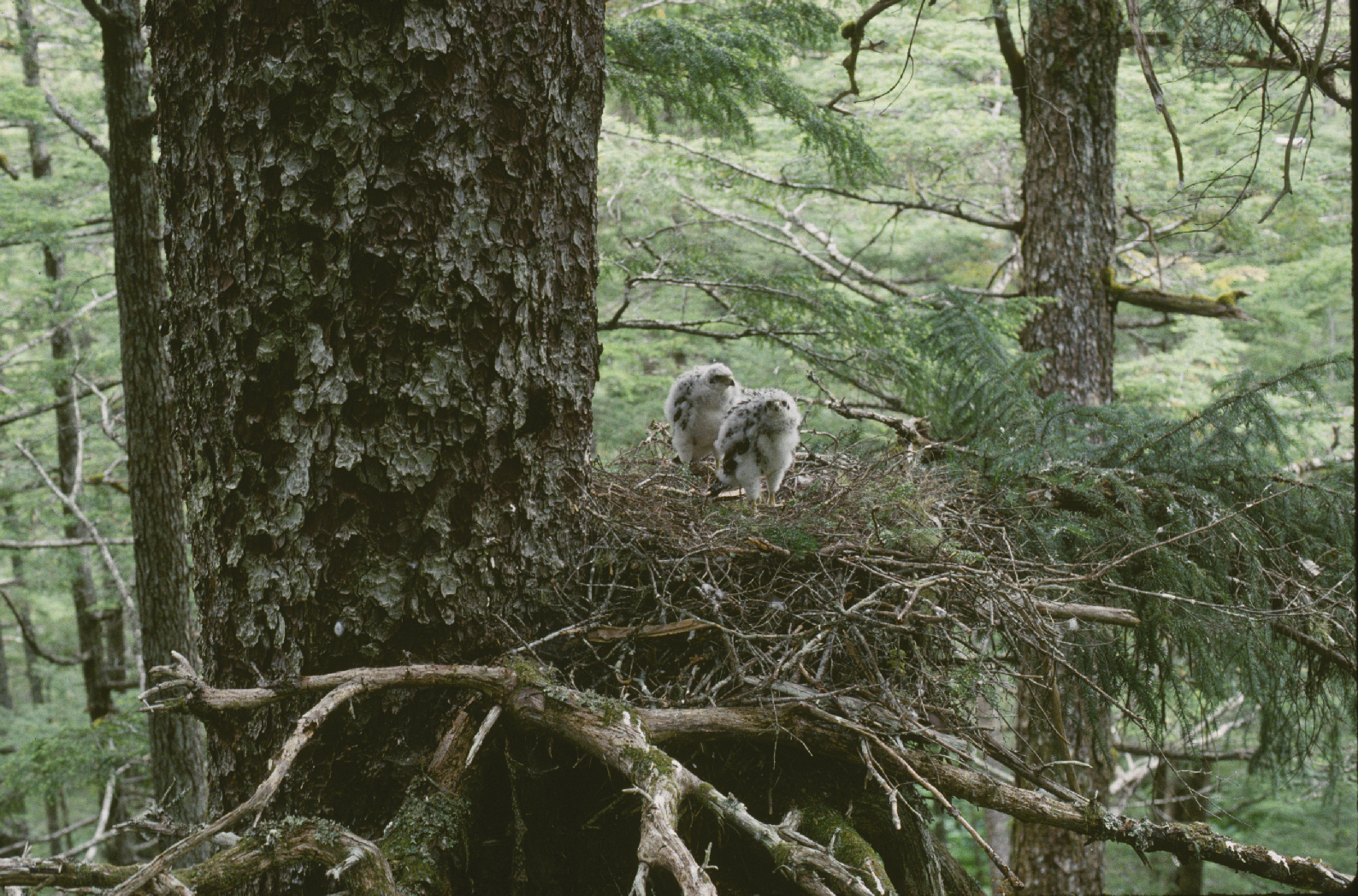 Northern Goshawk nestlings.