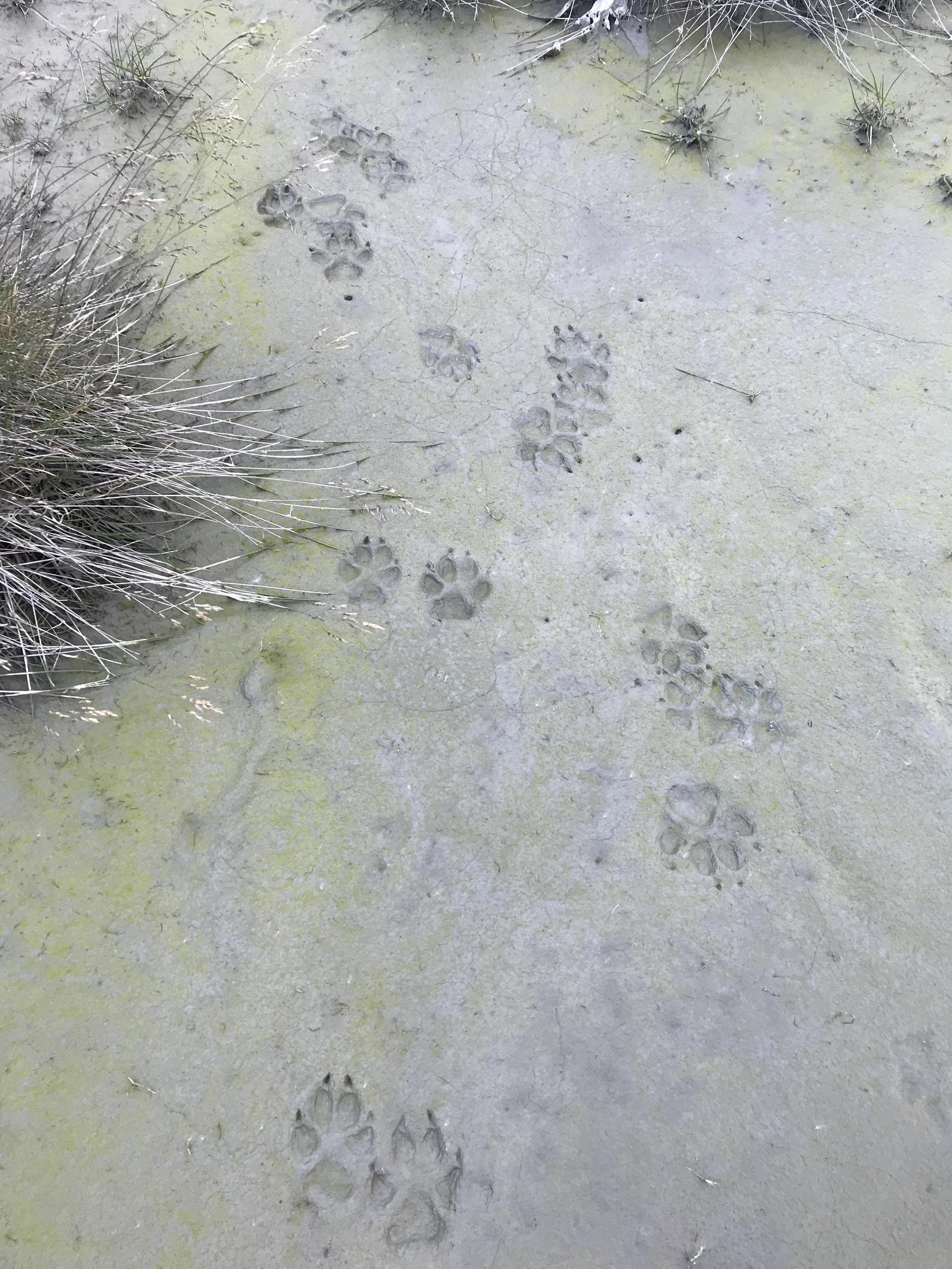 The Alexander Archipelago Wolf is a regionally distinct species found in Southeast Alaska.