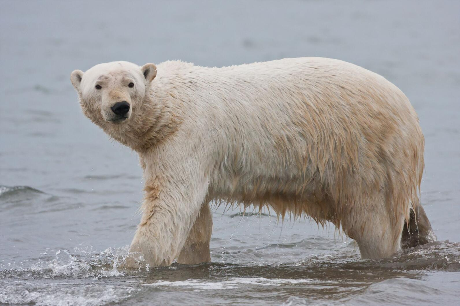 Polar bear in the Arctic National Wildlife Refuge.