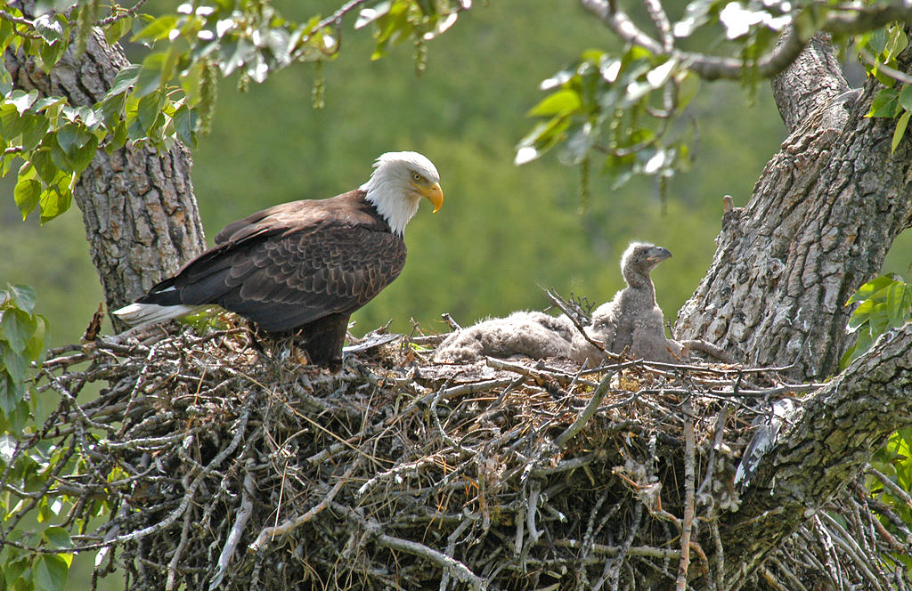 Bald Eagle and chicks.