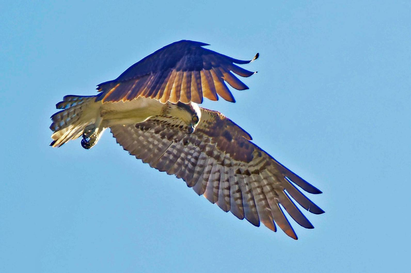 Most Ospreys that breed in North America migrate to Central and South America for the winter.