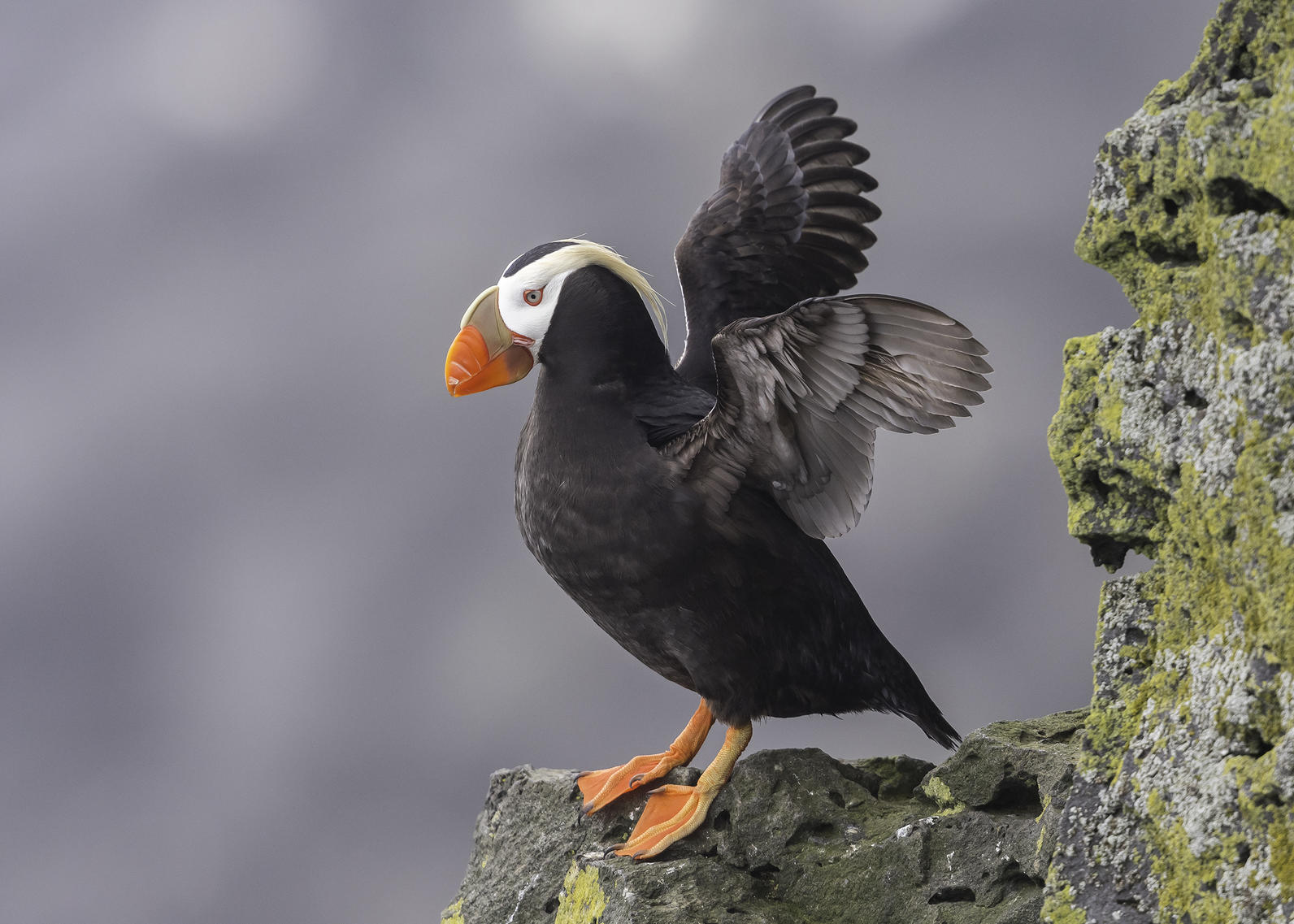 Tufted Puffin.