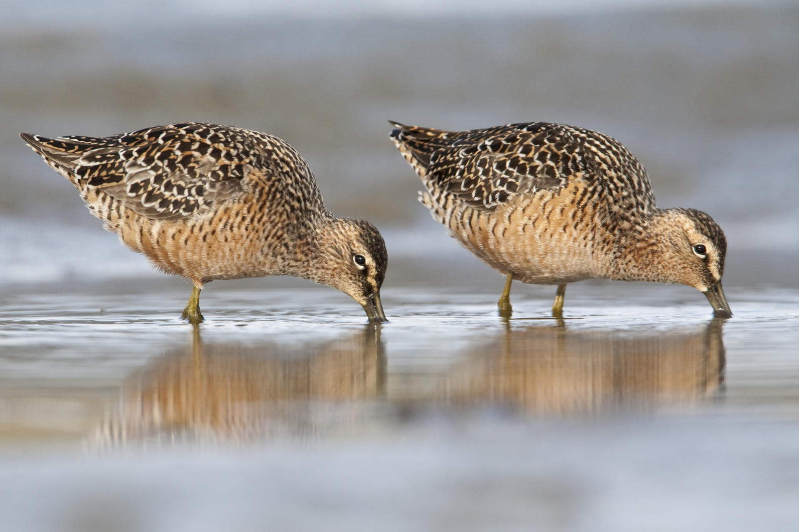 Long-billed Dowitchers feeding