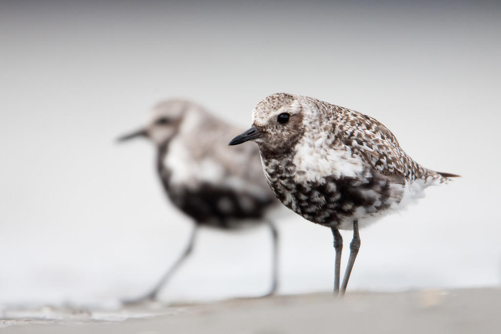 Black-bellied Plovers