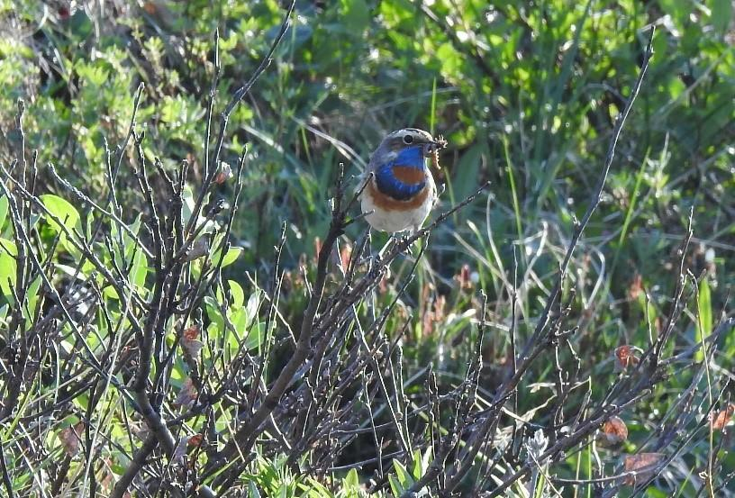 Bluethroat in Arctic Refuge