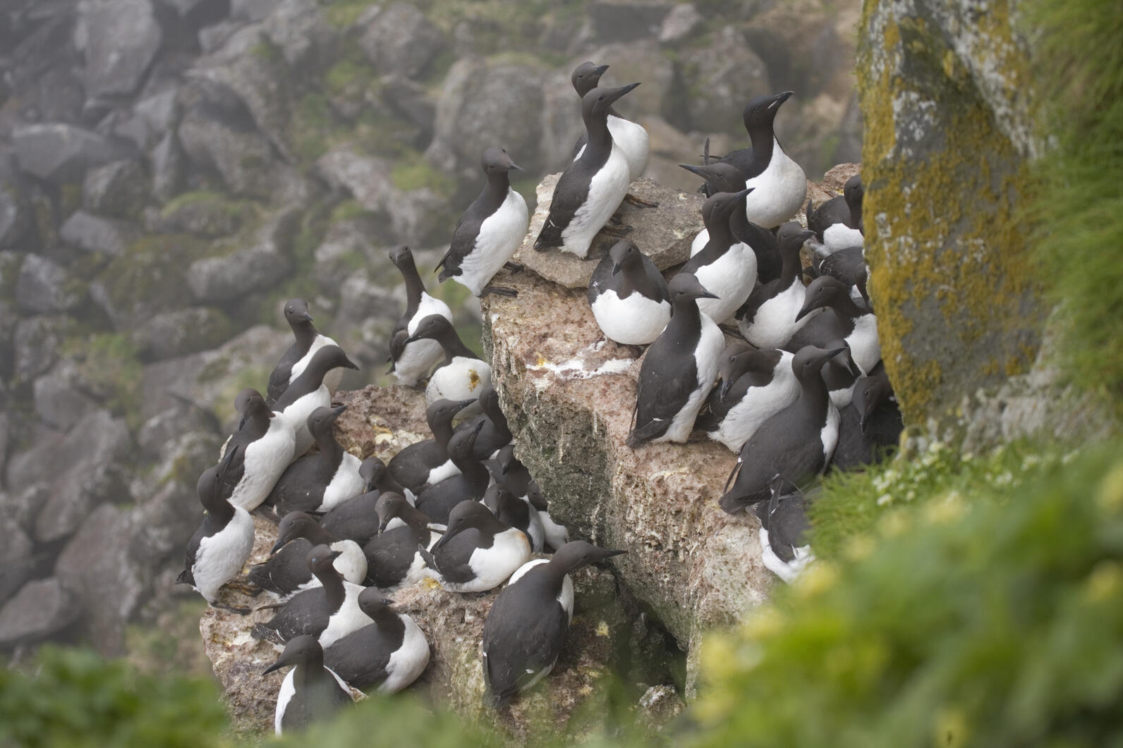 Colony of Common Murres.