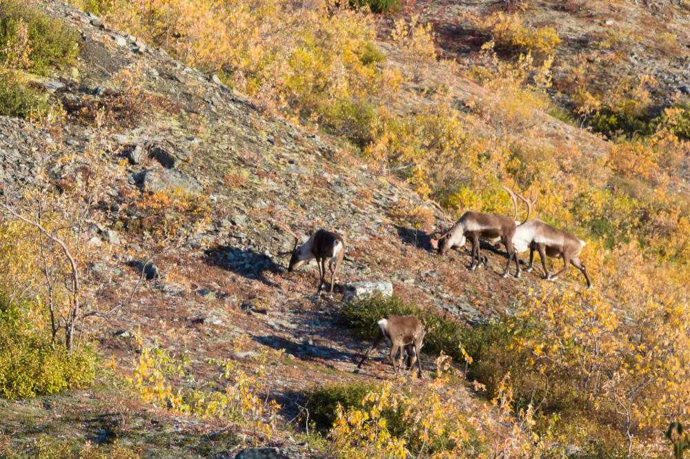 Caribou are an important subsistence and recreational hunting species in the Eastern Interior RMP.