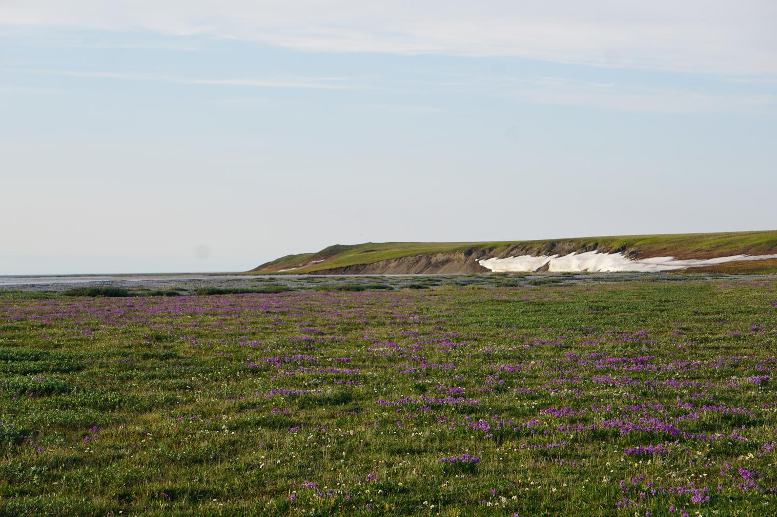 Flowers in the Arctic Refuge.