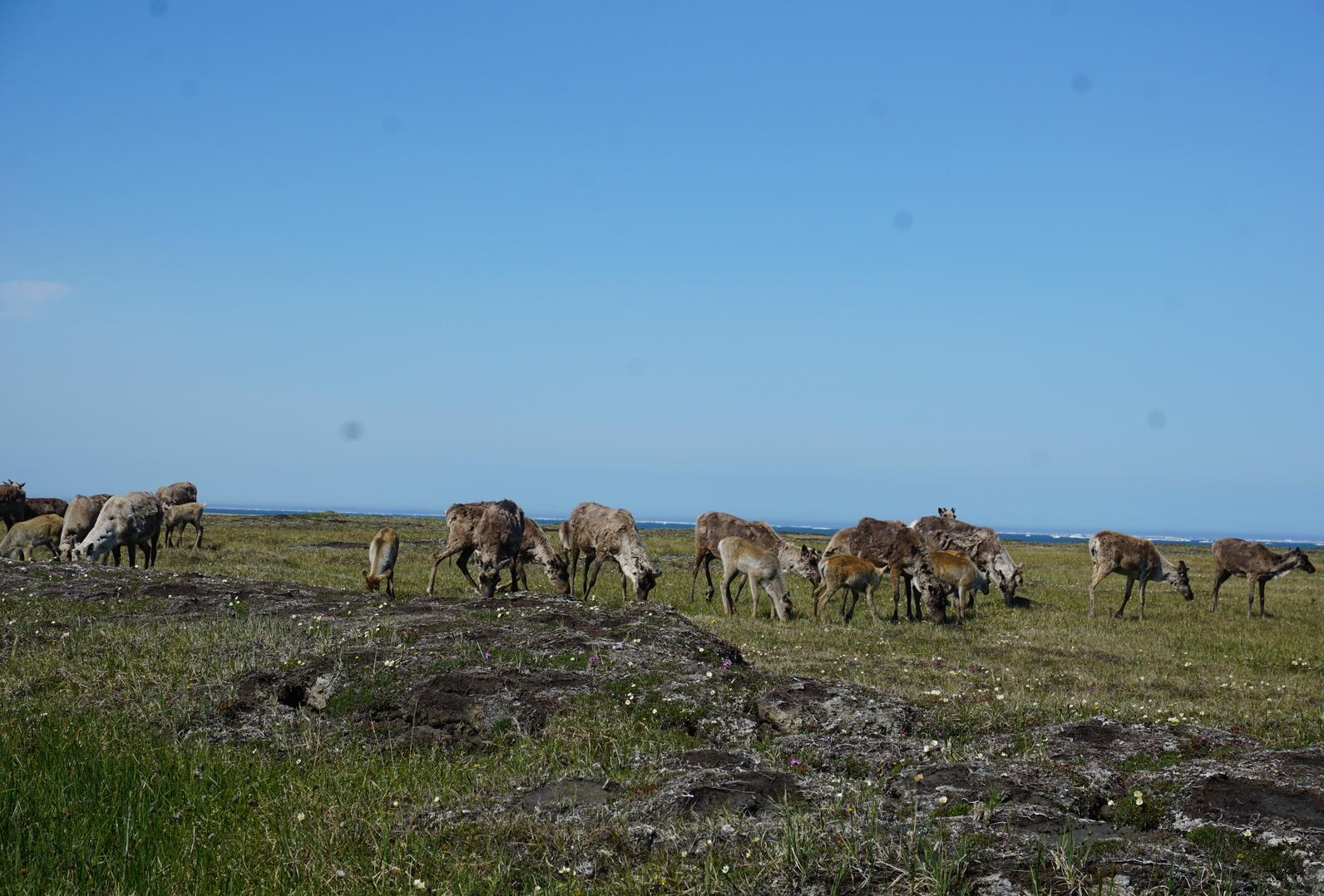 Caribou in the Arctic Refuge.