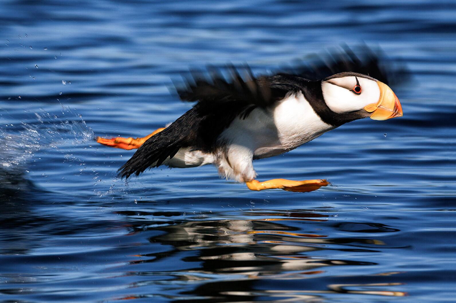 Horned Puffins and other seabirds rely on Bristol Bay.