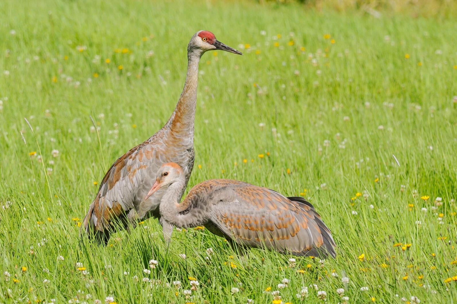 Ambler Road threaten the future of Sandhill Cranes.