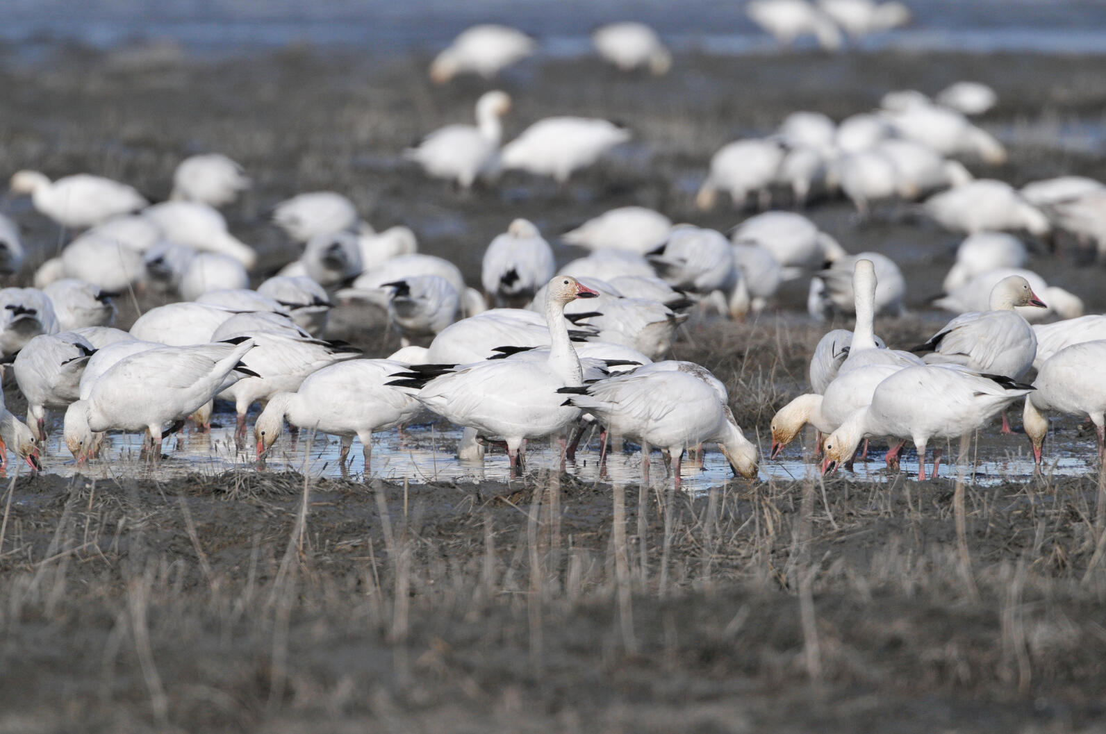 In 2016, thousands of snow geese died after landing on the Berkeley Pitt, a toxic waste pond.
