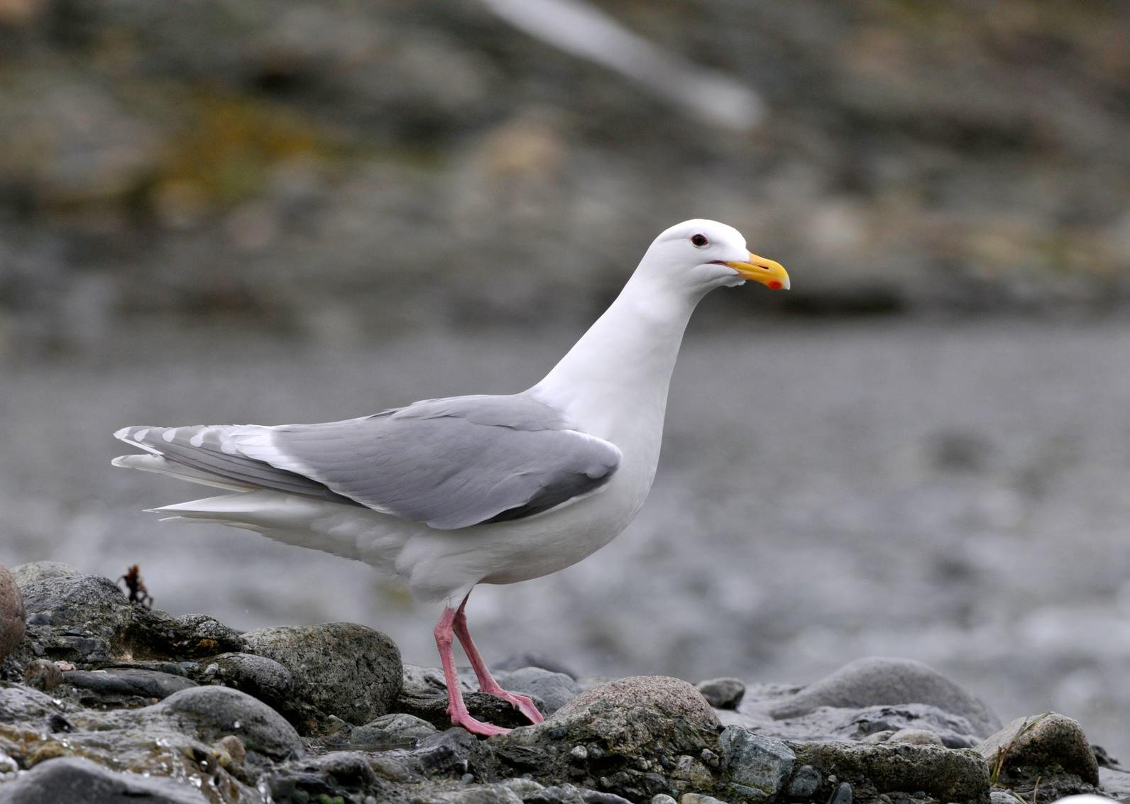 Glaucous-winged Gull.