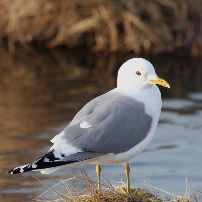 Mew Gull.