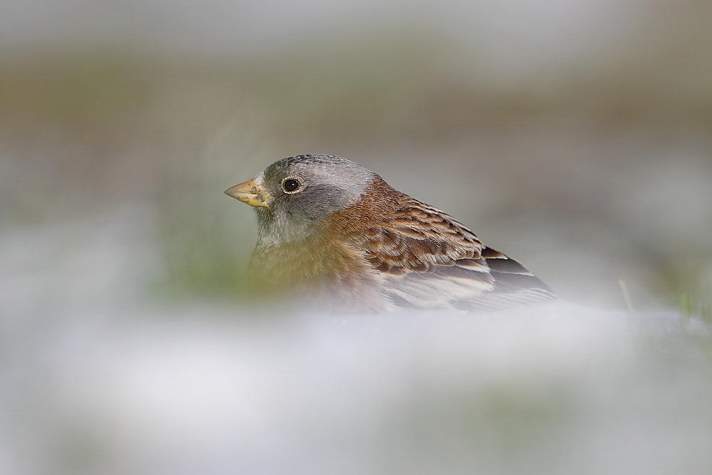 Gray-crowned Rosy Finch.