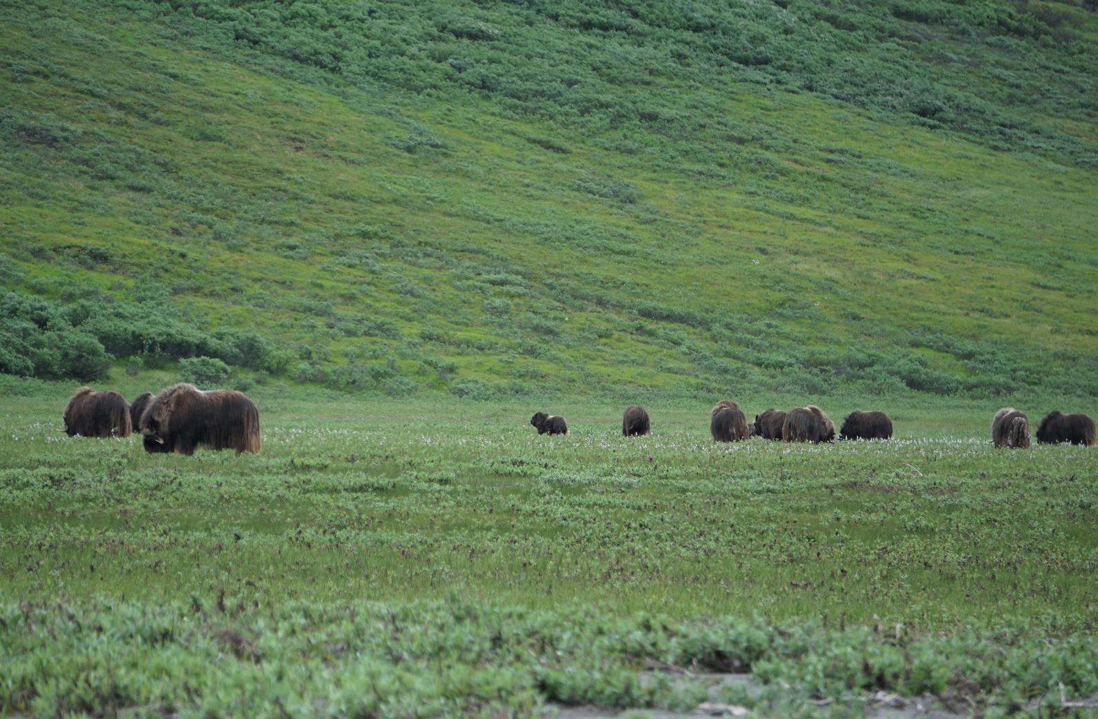 Muskoxen in the Arctic Refuge.
