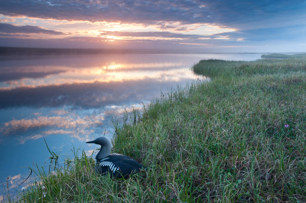 Drilling in the Arctic Refuge puts birds, like Pacific Loons at risk.