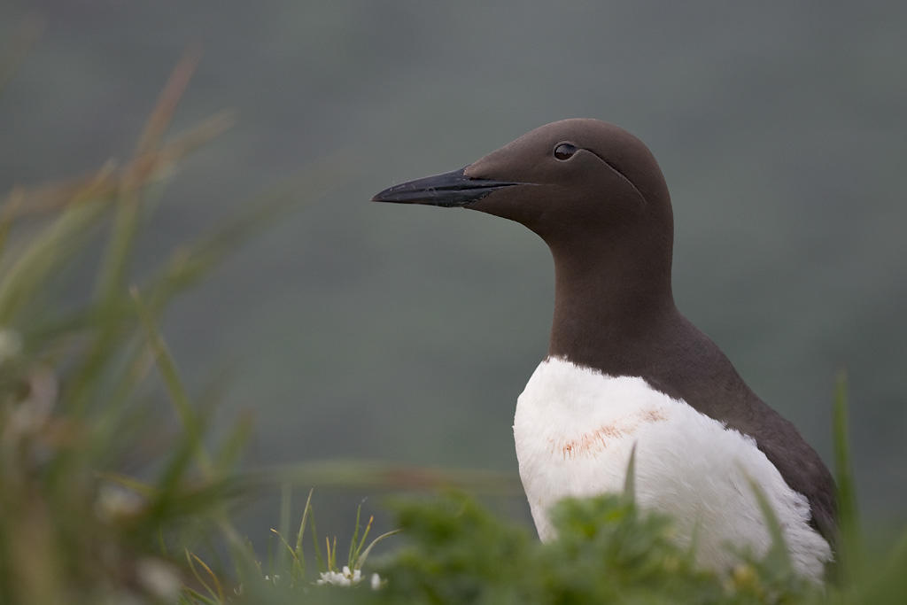 Common Murre.