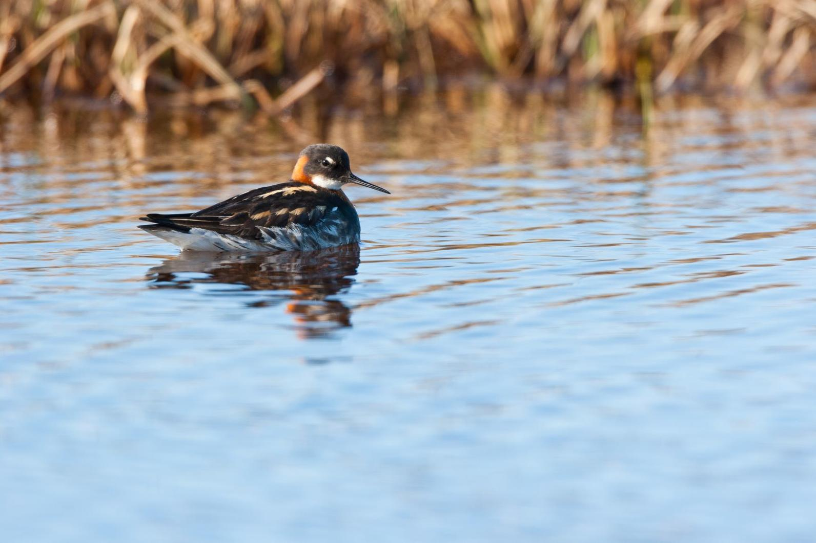All phalaropes feed by whirling in circles on the water's surface.