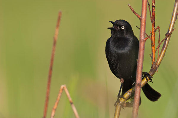Researchers are beginning to understand several factors contributing to an alarming decline of Rusty Blackbirds.
