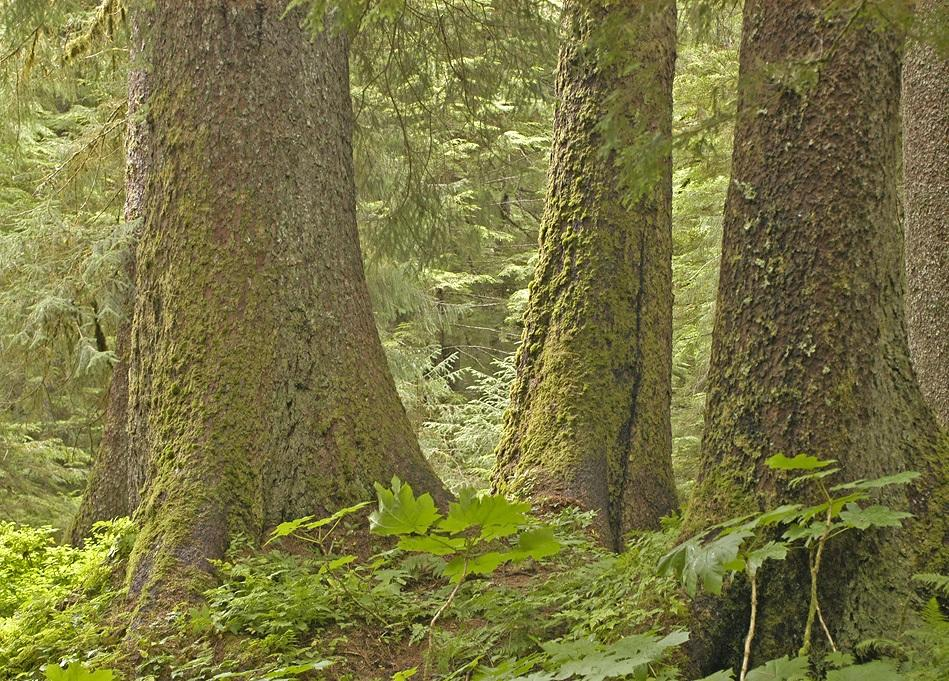 Old-growth forest in the Tongass.