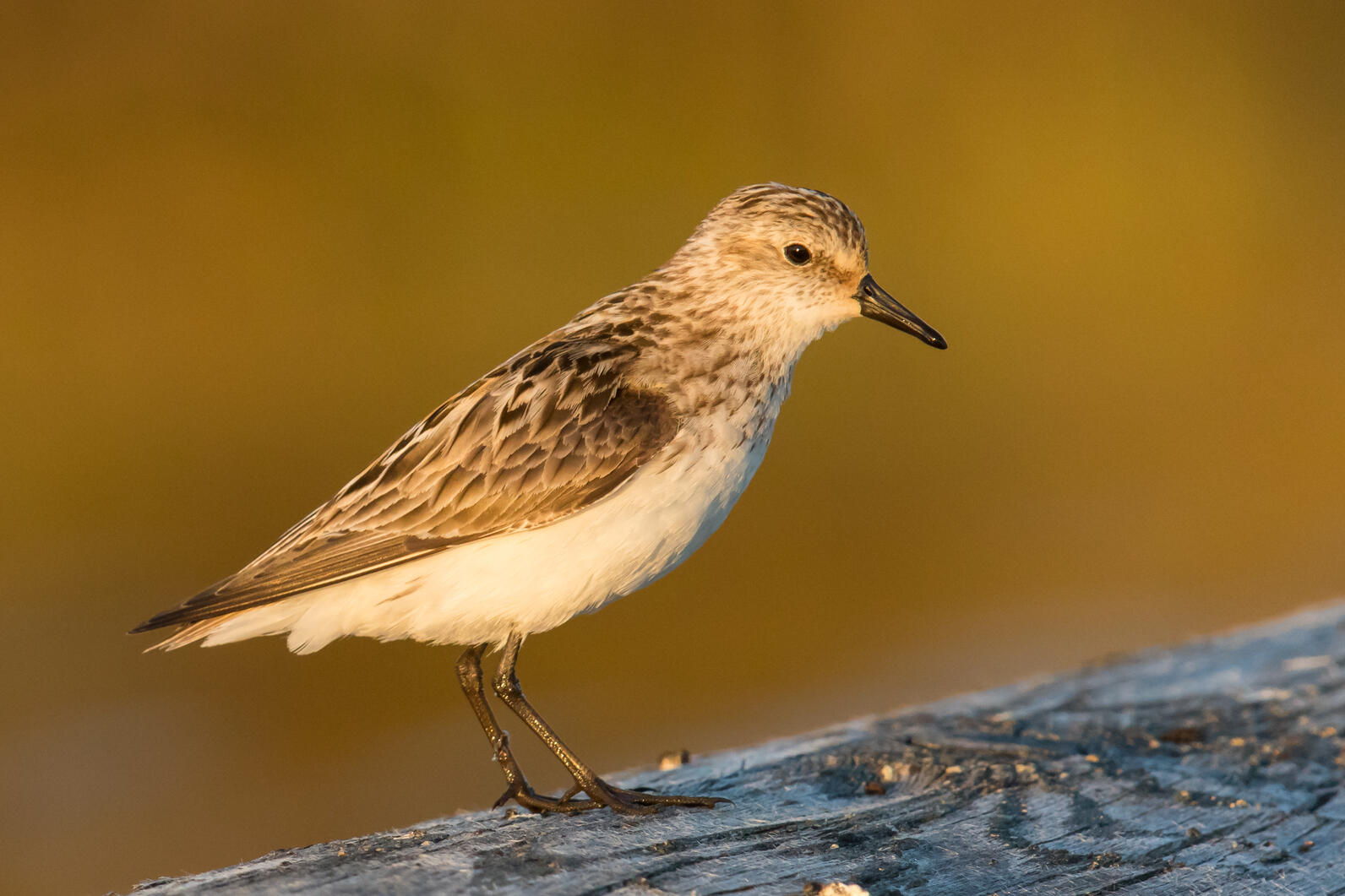 Semipalmated Sandpipers travel from Florida to the Arctic Refuge.