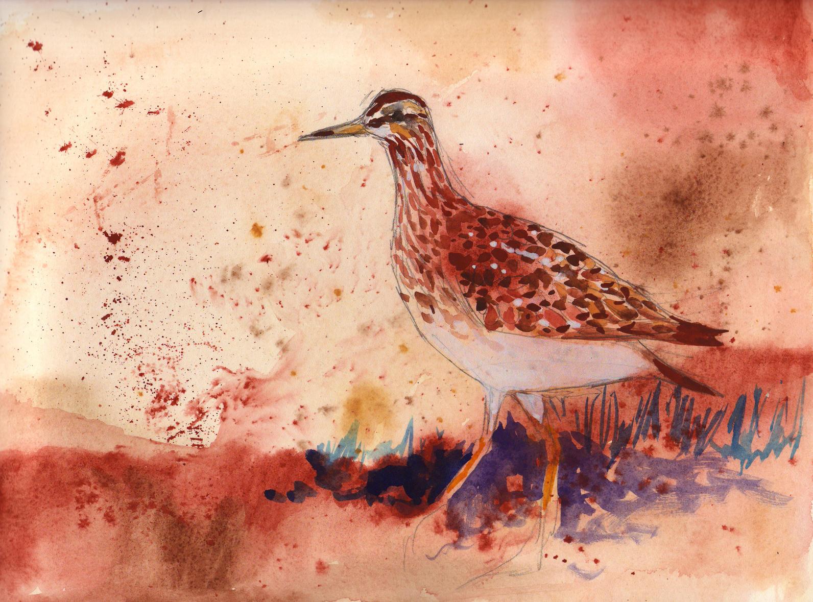 Shorebird painting by Erin Cooper