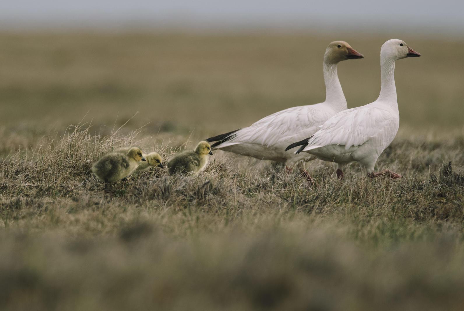 Snow Goose family at Teshekpuk Lake
