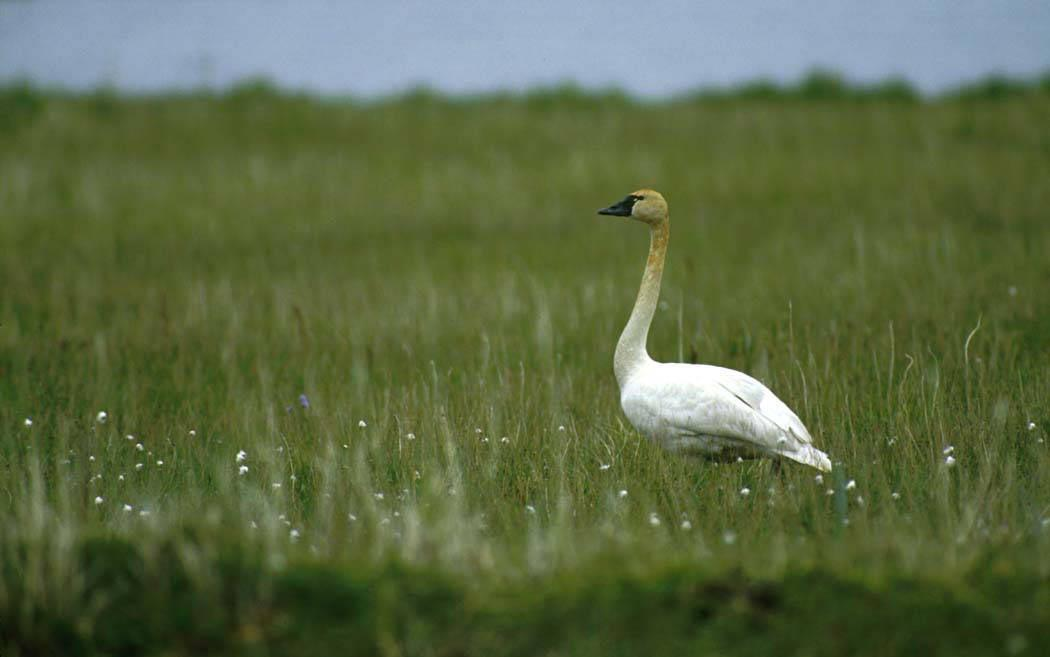 Tundra Swans spend summers in Safety Sound.