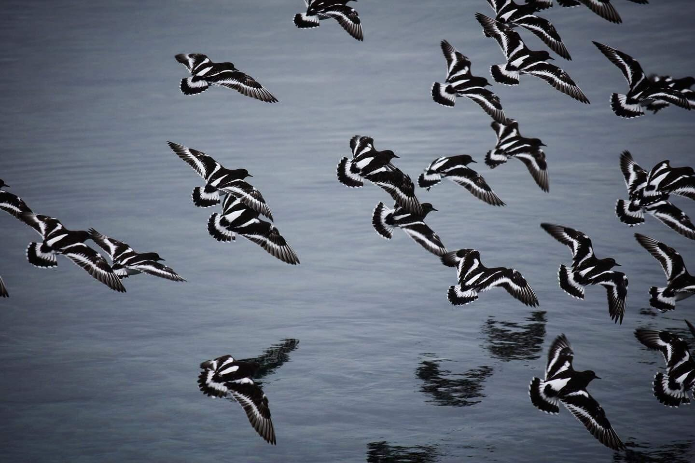 Black Turnstones flying in unison.