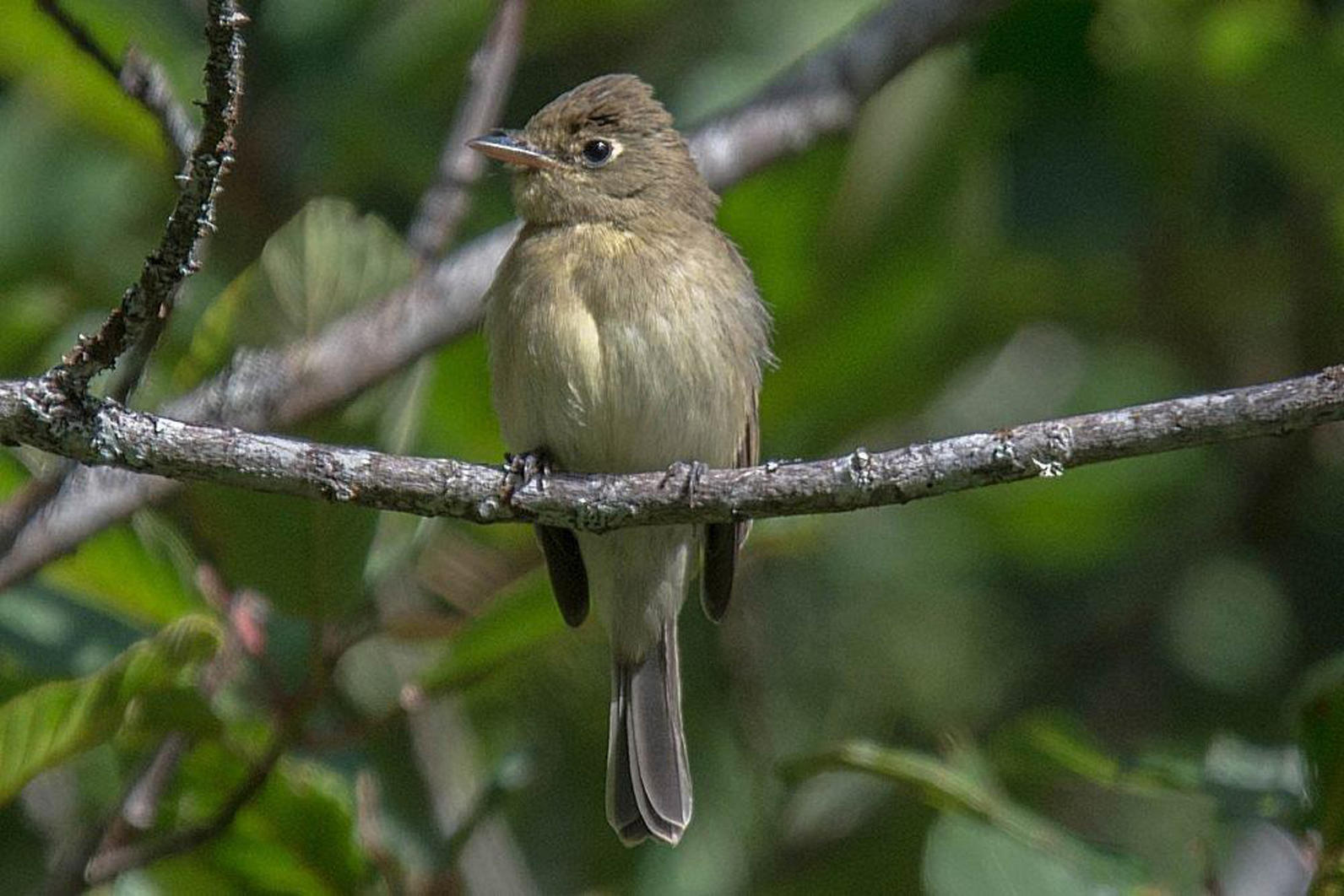 Pacific-slope Flycatcher.