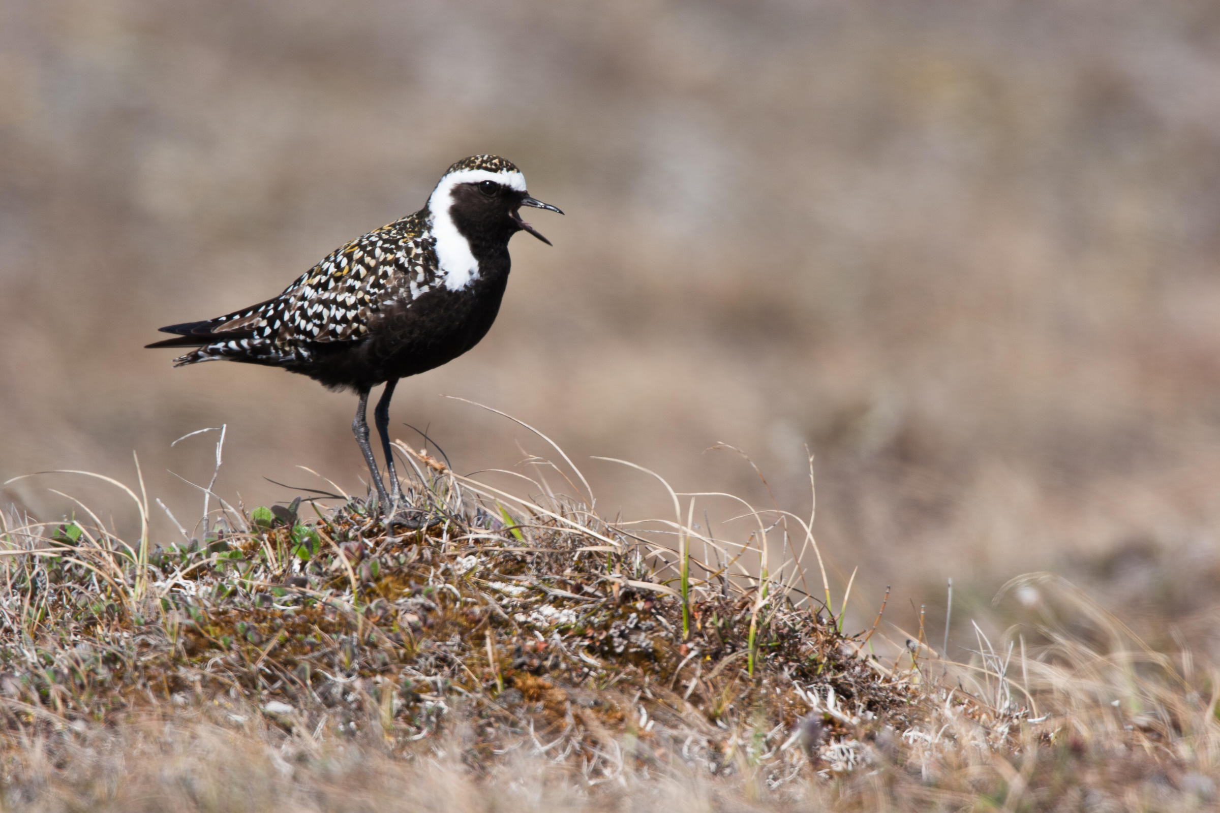 American Golden-Plover at Arctic National Wildlife Refuge